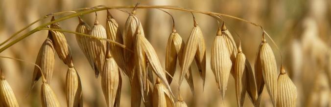 agropisuerga-semillas-cereal-avena