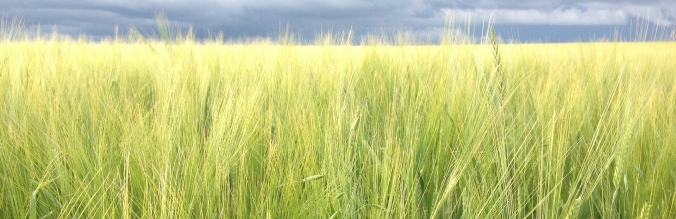 agropisuerga-semillas-cereal-cebada