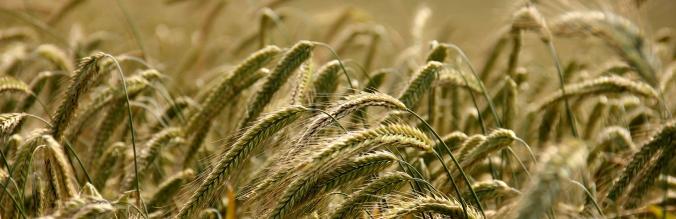 agropisuerga-semillas-cereal-centeno