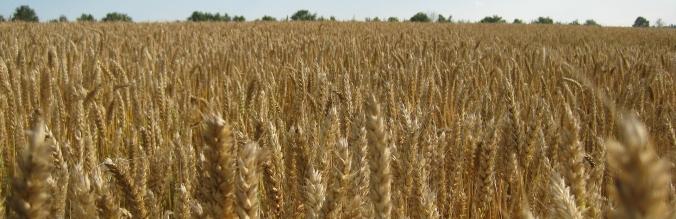 agropisuerga-semillas-cereal-trigo