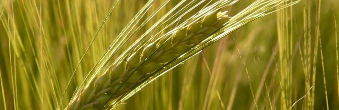agropisuerga-semillas-cereal