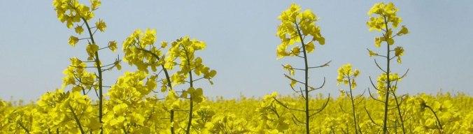 venta-semillas-colza-agropisuerga