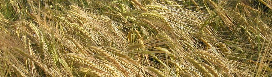 venta-semillas-cereal-agropisuerga