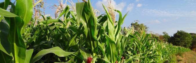agropisuerga-semillas-maiz